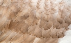 Feathers of swan. Close-up photo of wing