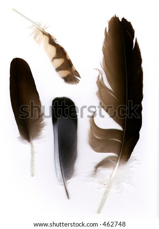 Feathers. The two toned grey feather is from a Morning Dove. The small barred brown feather is from a Burrowing Owl. The two large brown feathers are from the vulture.