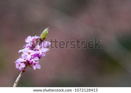 February daphne, mezereon, mezereum, spurge laurel or spurge olive (Daphne mezereum) #1072128413