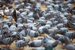 Fed pigeons at the city square. Jaipur, India