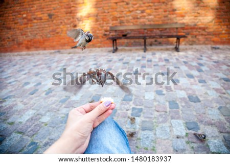 Feed the sparrows from the hands. City birds. Sparrows and human hand. #1480183937