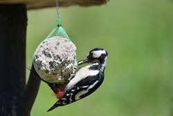 Feeding a large woodpecker that holds tallow balls and feeds on sunflower seeds