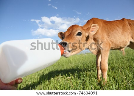 feeding a little baby calf from bottle