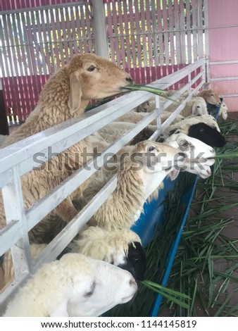 Feeding a sheep #1144145819