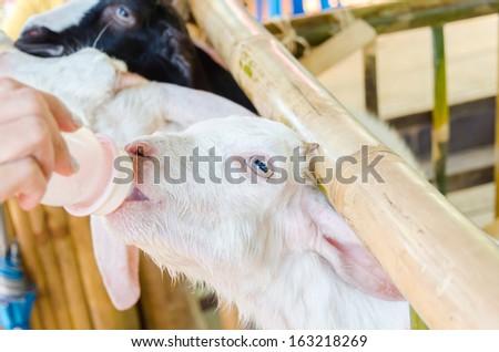 feeding baby goat with milk bottle at farm #163218269