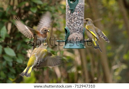 Feeding birds in winter - A Brambling flies towards a silo bird feeder filled with sunflower seeds; a European green-finch (Chloris chloris) sits on the other side.