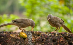 Feeding birds. The jungle babbler (Argya striata) is a member of the family Leiothrichidae found in the Indian subcontinent. They are gregarious birds that forage in small groups of six to ten birds.