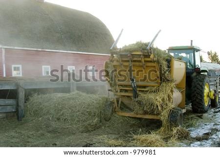 Feeding cattle with a bulk hay spreader.
