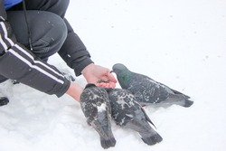 Feeding city pigeons in winter, around the snow and birds are not afraid, and eat food from the palms of human hands.