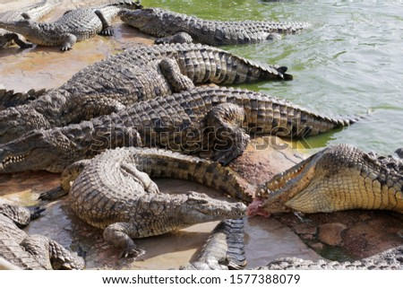 Feeding crocodiles on a crocodile farm. Croco farm. Cultivation of crocodiles. Crocodile sharp teeth. The meat flies into the jaws of a crocodile. Crocodile is eating.