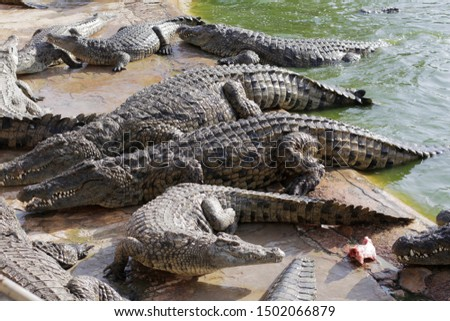Feeding crocodiles on a crocodile farm. Crocodiles in the pond. Cultivation of crocodiles. Crocodile sharp teeth. The meat flies into the jaws of a crocodile. Crocodile is eating.