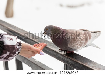 Feeding doves with their fingertips. Winter day in the city Park. #1042269262