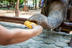 feeding elephant with corn in the zoo