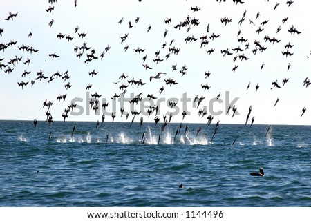 feeding frenzy of sea gulls in various positions before impact on the water