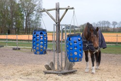 Feeding horses. Brown horse eats hay from a blue plastic basket that hangs from a wooden frame in a paddock in the Netherlands. Field with orange tulips in the background