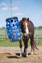 Feeding horses. Brown horse with white blaze pulls the hay from a blue plastic basket that hangs in a paddock in the Netherlands. Front view