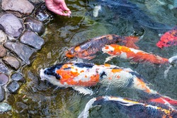 Feeding koi carp - Cyprinus Rubrofuscus by hand.  Fun and relaxing at the pond with pebble bottom.