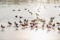 Feeding many wild ducks on winter cold icy river on frosty sunny day. People throwing food to happy hungry birds
