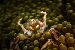 Feeding marble crab at the anemone