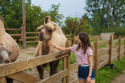 feeding of beautiful camels in the contact zoo.