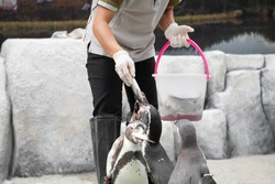 Feeding penguin with fish in the zoo. Closeup of hand wearing gloves give fish to penguins. Selective focus