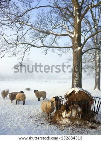 Feeding sheep on a farm in winter snow in North Yorkshire in the United Kingdom.