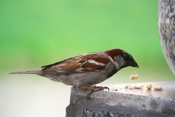 Feeding sparrow. A restless sparrow after a hearty lunch. A bright sparrow pecks bread crumbs. The male differs from the female by the presence of a black spot at the chin, throat and chest.