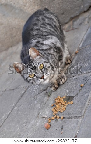 Feeding Stray Cats - A spayed gray cat eating. Taking responsibility for cats' welfare including responsibility for their neutering or spaying  as well as for their health.