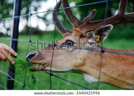 Feeding the deer. feeding deer. the girl feeds the animal through the bars