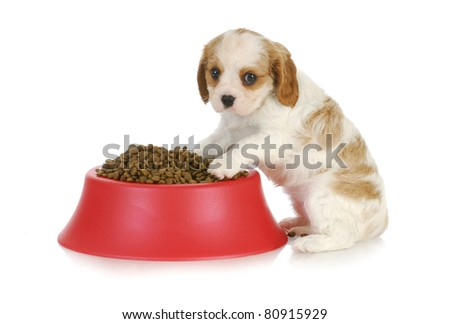 feeding the dog - cavalier king charles spaniel sitting with full dog food bowl