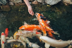 Feeding the hungry funny decorative Koi carps in the pond. Women's hand hold food for fish. Animal care concept.
