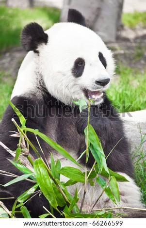 Feeding time. Giant panda eating bamboo leaf