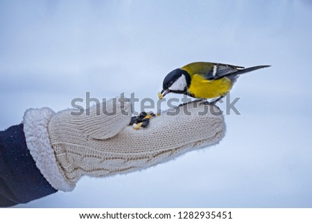 feeding tits with hands, tits sit on a glove with a seed in its beak, trust in a person #1282935451