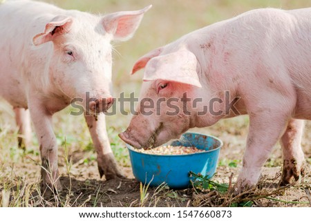 Feeding two pigs, two pigs are eating outdoors, swine breeding and agriculture. #1547660873