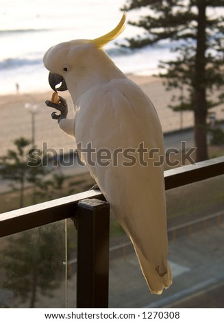 Feeding wild sulphur crested Cockatoo in Manly, Australia