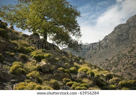 Feigenbaum im Sp�¤tsommer, Hoher Atlas, Marokko - stock photo