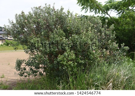 Feijoa (Feijoa selllowiana) is a tropical fruit tree and its fruits are edible. #1424546774