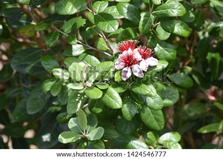 Feijoa (Feijoa selllowiana) is a tropical fruit tree and its fruits are edible. #1424546777