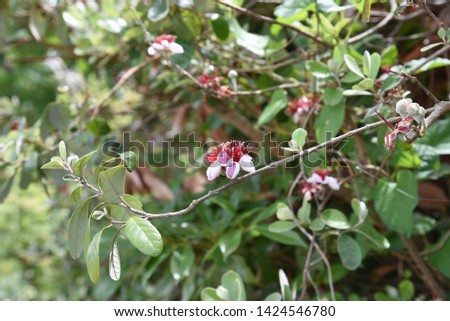 Feijoa (Feijoa selllowiana) is a tropical fruit tree and its fruits are edible. #1424546780