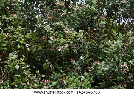 Feijoa (Feijoa selllowiana) is a tropical fruit tree and its fruits are edible. #1424546783