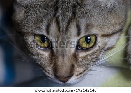 Feline, Adorable common cat hair tabby