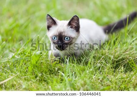 Feline animal pet siamese domestic cat walking outdoor on green grass