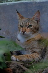 Felis silvestris catus (domestic cat).