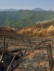 Felled forest stump burned ashes