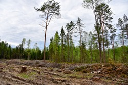 Felled trees in forest. Deforestation and Illegal Logging, international trade in illegal timber. Stump of the felled living tree in the forest. Destruction wildlife. Wood Export and Import