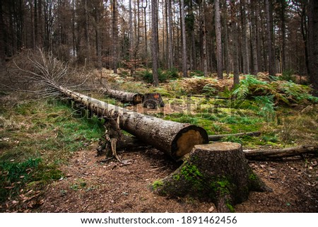 Felling trees in the commercial forest. Stock photo ©