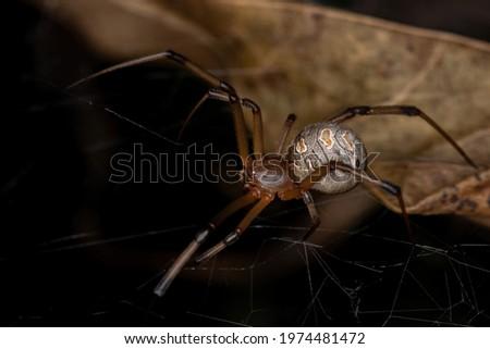 Female Adult Brown Widow of the species Latrodectus geometricus Сток-фото ©