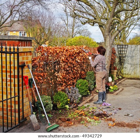 Female adult Gardener Trimming a Beech hedge with Garden Shears
