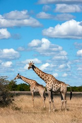 Female adult Giraffe (Giraffa camelopardalis) with a juvenile in the Savuti region of Botswana, African. An African artiodactyl mammal, the tallest living terrestrial animal and the largest ruminant.