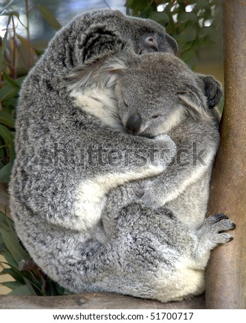 http://image.shutterstock.com/display_pic_with_logo/382933/382933,1272193033,1/stock-photo-female-adult-koala-bear-with-baby-australia-51700717.jpg